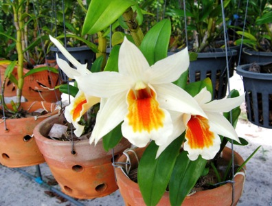 Orchid Conservation in Tung Nang Dam village in Thailand